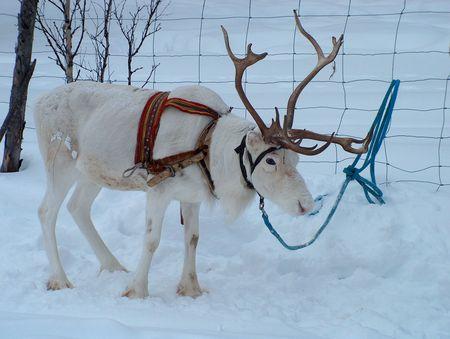 Wikinger Reisen - Winterliches Lappland: wild, romantisch, aktiv