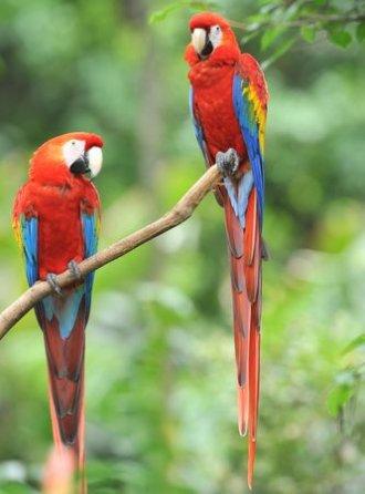 Chamäleon - Nicaragua Miraflores