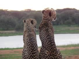 Zwei Geparden an der Tränke