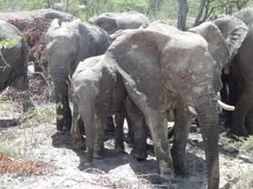 Elefanten in Namibia