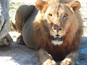 Löwe Nahaufnahme