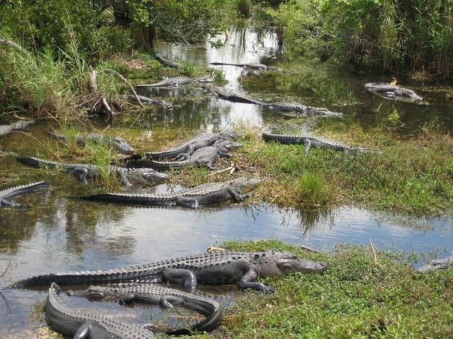 Aligatoren in den Everglades