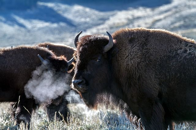 Bisons Yellowstone Nationalpark
