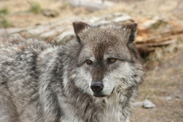 Yellowstone Nationalpark Wolf